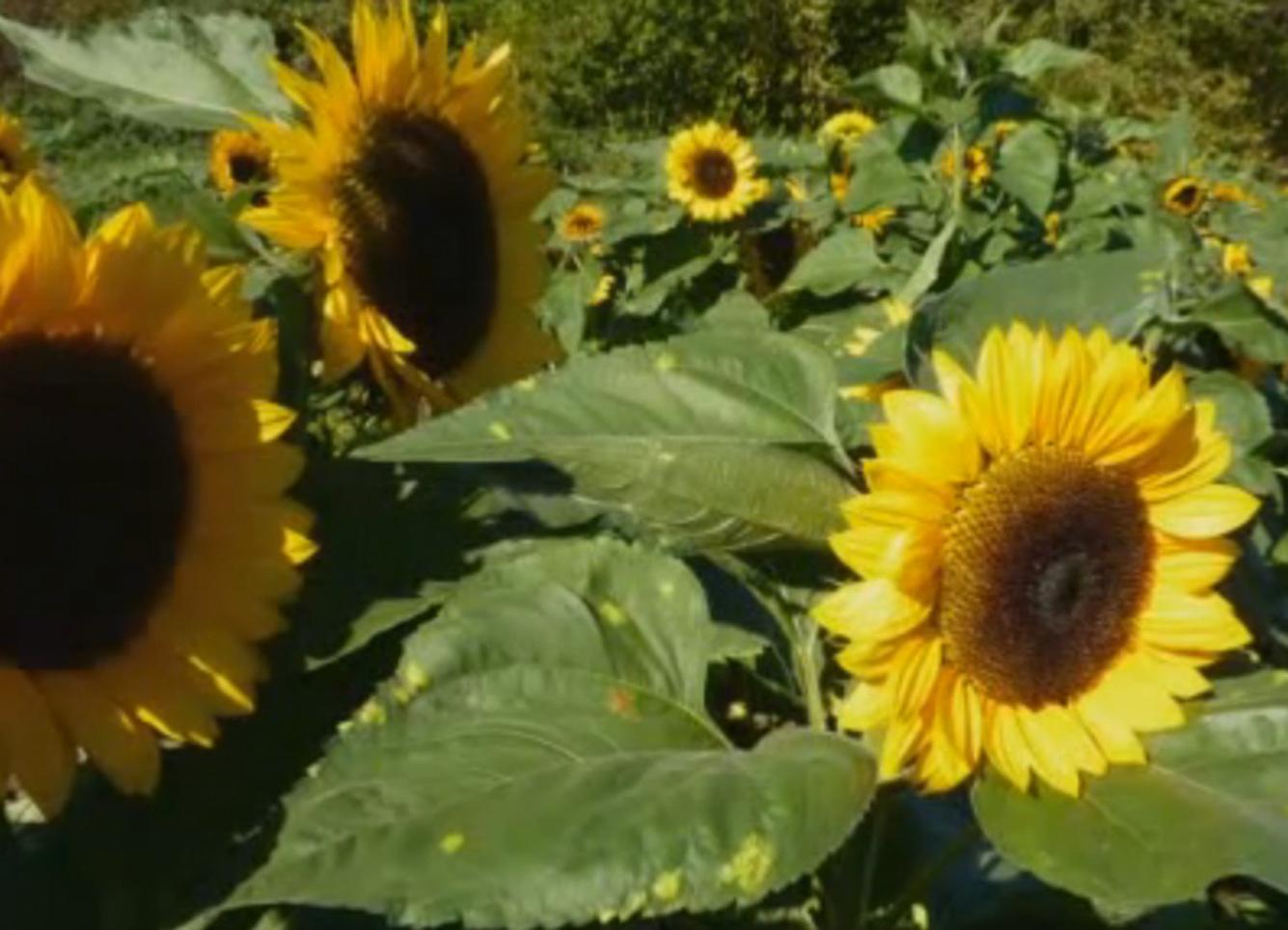 Sonnenblumen_zoom